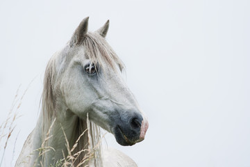 Head of white horse