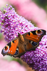 Peacock butterfly on pink flowers