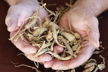 Ginseng harvested in the Appalachian mountains