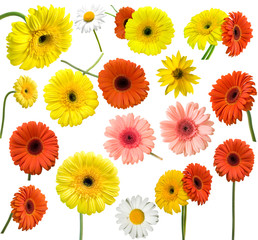 collection of daisy flower on white background