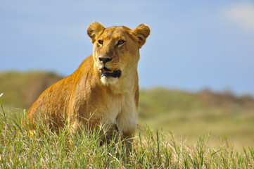 Lioness on the prowl. Serengeti National Park, Tanzania