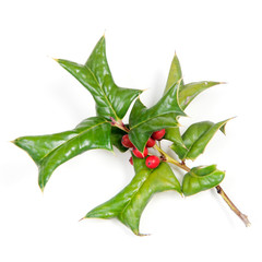 Sprig of holly many ripe red berries isolated against white