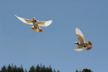Two pigeons in flight