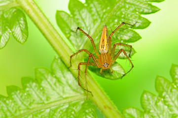 Lynx Spider In Natural Environment