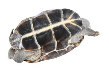 upturned tortoise
