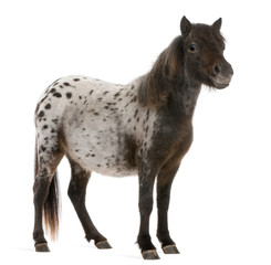 Appaloosa Miniature horse, Equus caballus, 2 years old, standing