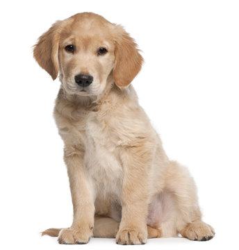 Golden Retriever puppy, 2 months old, sitting