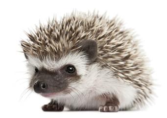 Four-toed Hedgehog, Atelerix albiventris, 3 weeks old