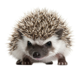 Fototapete - Four-toed Hedgehog, Atelerix albiventris, 3 weeks old