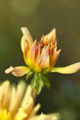 Wall Mural - Dahlia fleur plante jardin jardinage printemps parc vert