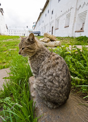 Cat in Solovetsky monastery