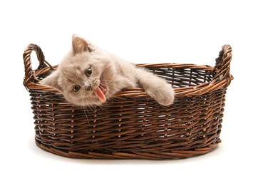 Yawning Lilac Kitten In A Basket