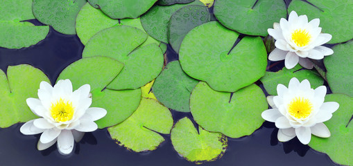 Wall Murals Water lilies White water lilies