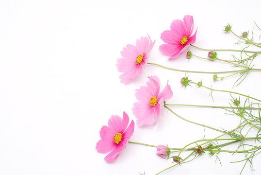 ピンクのコスモスの切花
