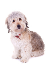 above view of a bearded collie