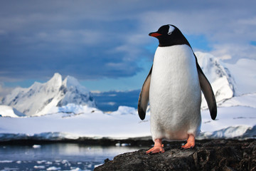 Foto auf AluDibond Antarktis penguin on the rocks