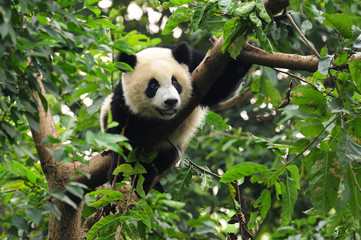 Photo sur Aluminium Panda Giant panda climbing tree