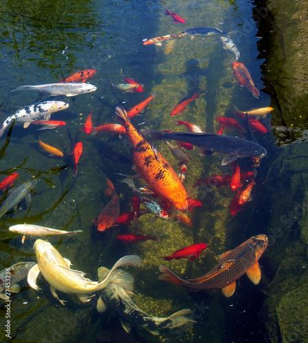 Carpes ko dans l 39 eau du petit bassin photo libre de for Carpe koi a acheter