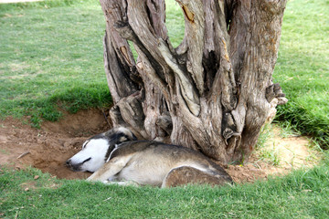 street dog in india sleeping at a tree