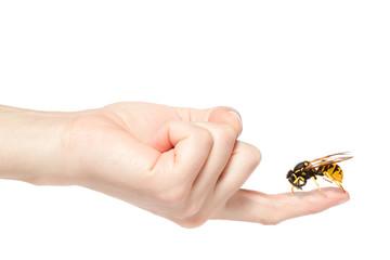 Female hand holding a big wasp, isolated on white background