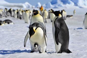 Acrylic Prints Antarctic Emperor Penguin