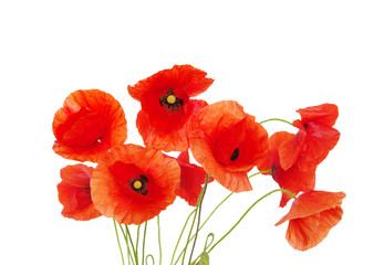 Foto op Canvas Poppy red poppies on white