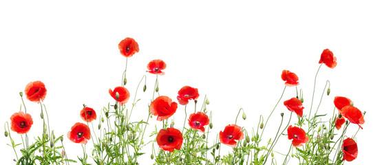 Fotobehang Poppy red poppies on white