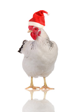 Hen in a Santas hat.