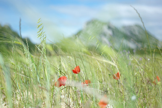 Poppies and Alpilles