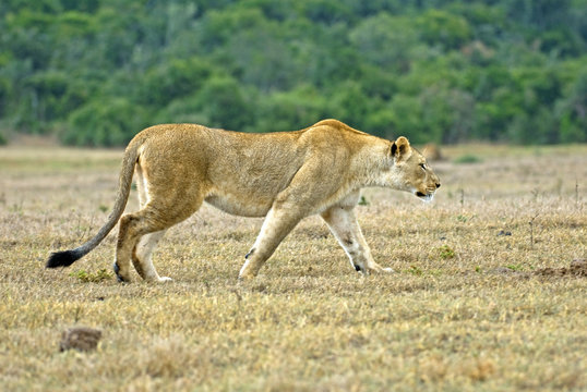 A young Lioness stalks prey