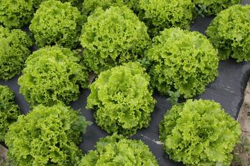 Des belles salades