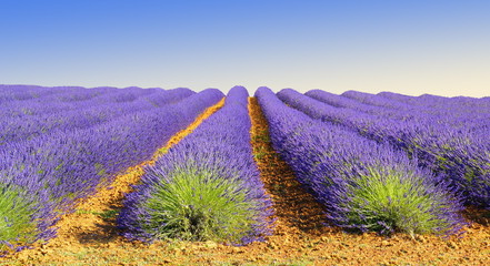 Canvas Prints Lavender Culture de lavande