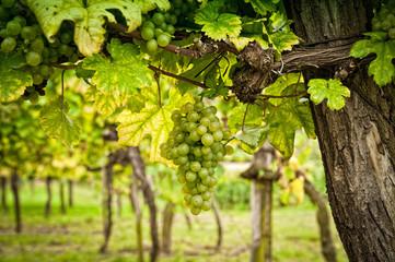 Foto auf Leinwand Weinberg Vineyard with White Grapes