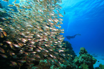 Shoal of Glassfish and Scuba Diver