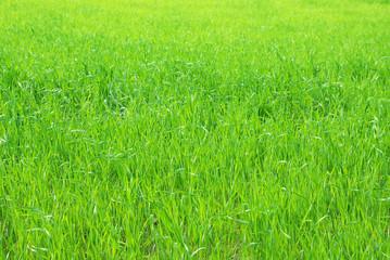 Yang wheat