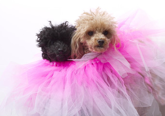 Two Poodles In Pink