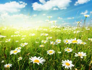 Foto op Plexiglas Weide, Moeras field of daisy flowers