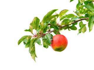 Ast mit Apfel
