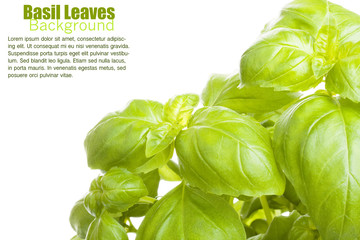 Basil leaves background