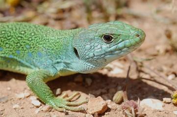 perleidechse, ocellated lizard, Timon tangitanus