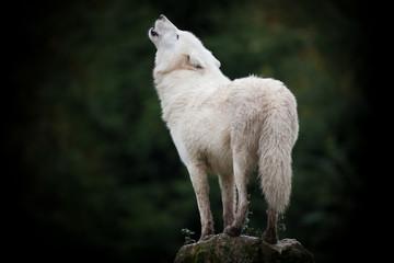 Photo sur Toile Loup loup cri hurler