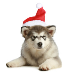 Husky puppy (3 months) in a Christmas cap