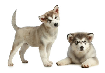 Two puppies malamute (3 months)