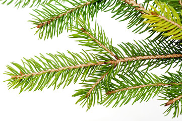 Branch of the fir tree over the white background