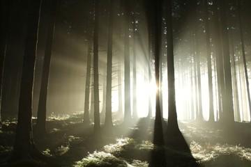 Keuken foto achterwand Bos in mist Sunbeams enters coniferous stand on a misty autumn morning