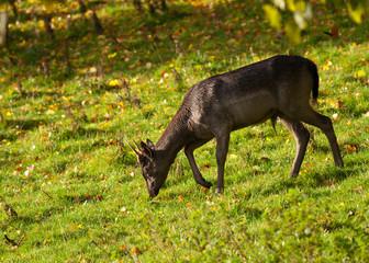 Young Fallow Deer buck