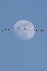 Fototapete - Snow Geese With Moon