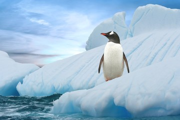 Eselspinguin (Antarktis) - Gentoo Penguin (Antarctica)