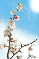 Blossoming branches of a tree with sun beam
