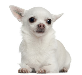 Chihuahua, 5 years old, lying in front of white background